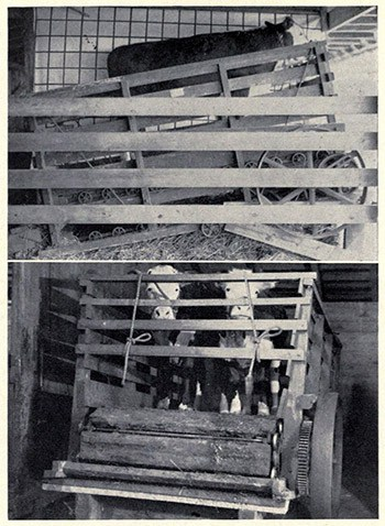 Steer on a farm treadmill. (Image Source)
